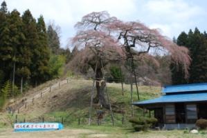 「外大野のしだれ桜」開花状況〔4月9日現在〕