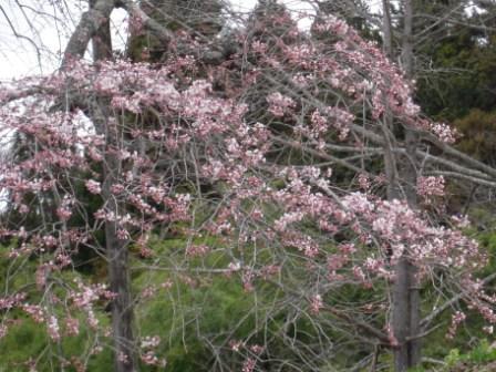 「外大野のしだれ桜」開花状況〔4月10日現在〕