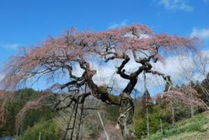 「外大野のしだれ桜」開花状況〔4月8日現在〕