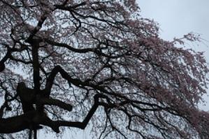 「外大野のしだれ桜」開花状況〔4月12日現在〕