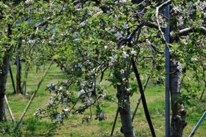 今年もりんごの花が咲きました♪