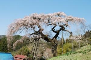 外大野のしだれ桜 桜開花状況〔4/14〕その①