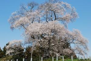 満開です!「戸津辺の桜」(福島県矢祭町)