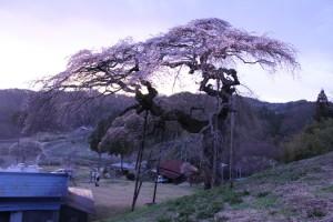 「外大野しだれ桜」のライトアップ (4/18)