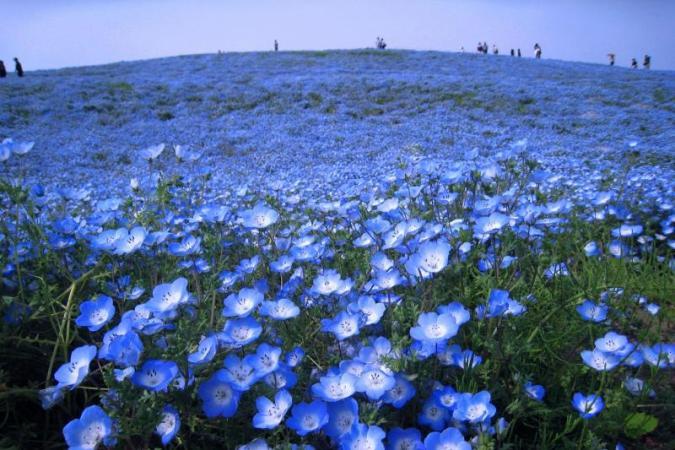 感動のひたち海浜公園『 Flowering 2012 』開催中!!