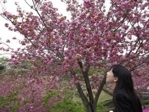 〔那珂市〕静峰ふるさと公園 【八重桜】
