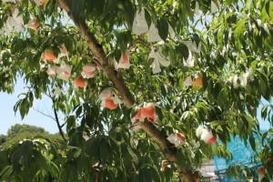 奥久慈 大子町 季節の果物 桃